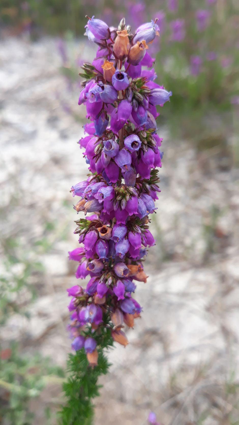 Fleur de couleur violette