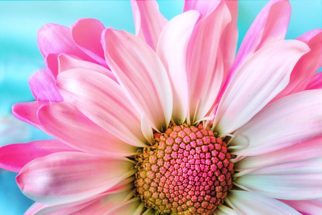 Fleur-rose-ouverte