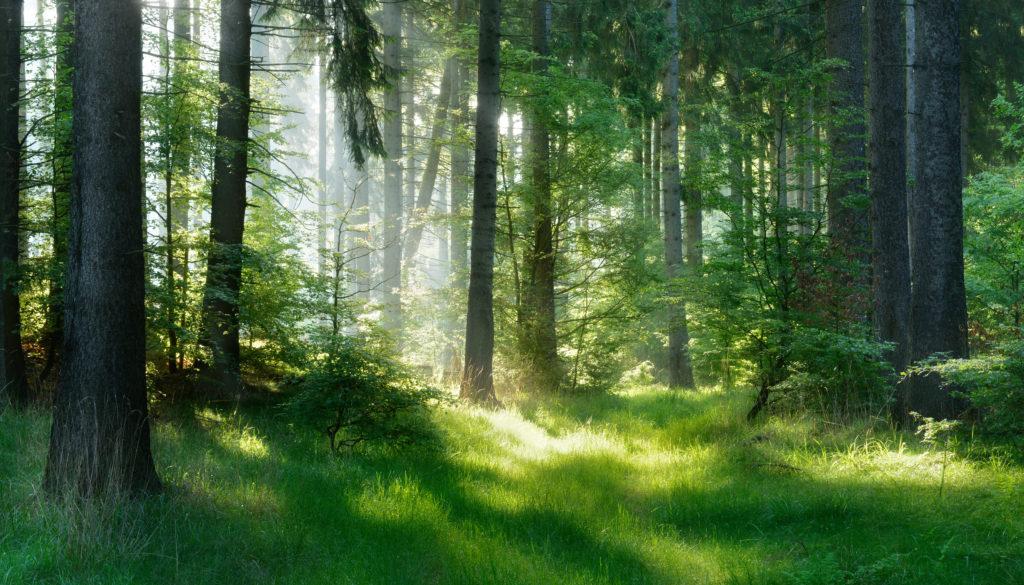 sapins éclairés dans la forêt