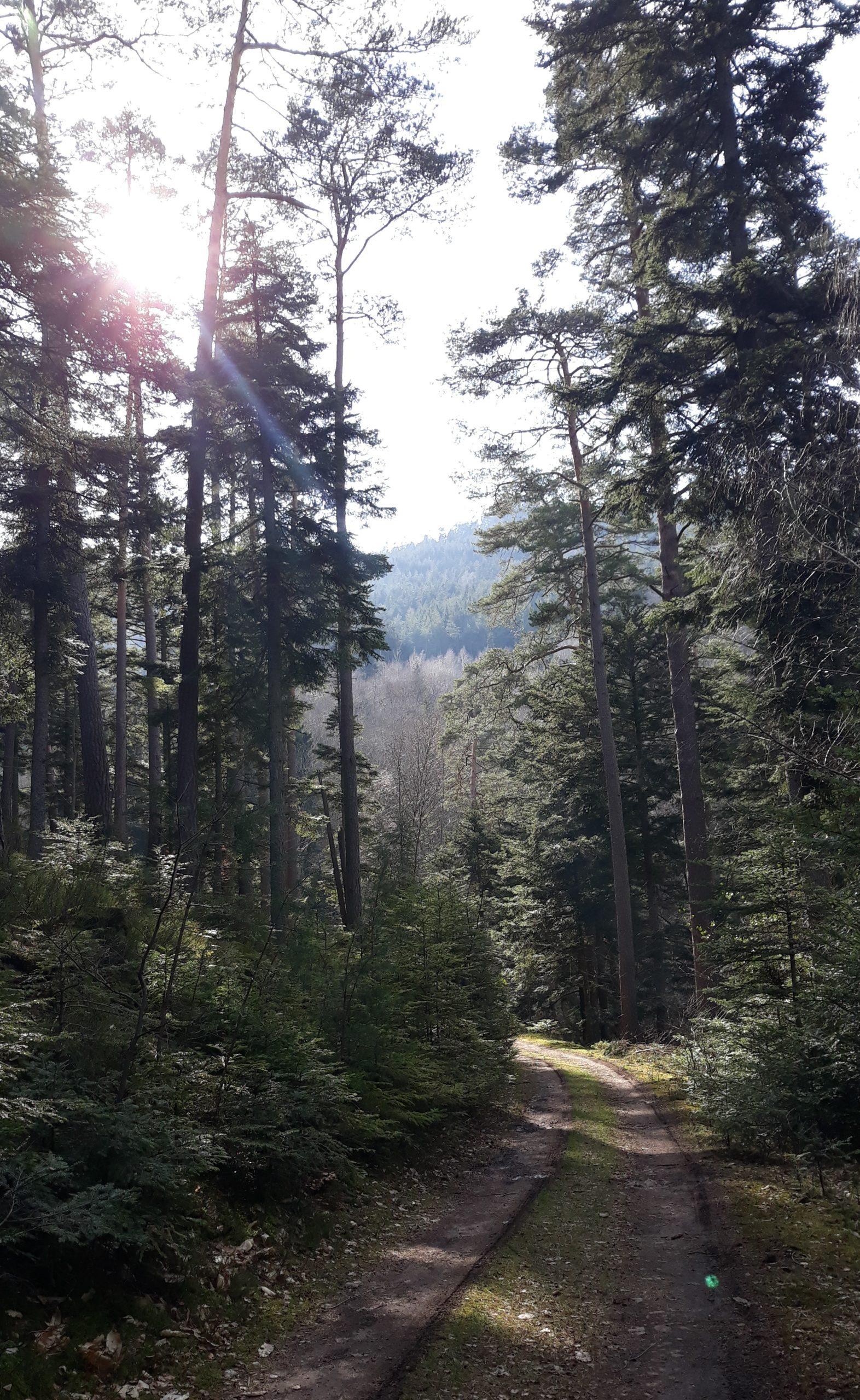 Chemin éclairé par le soleil dans la forêt des Vosges